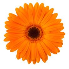 Orange Daisy Flower Isolated O...