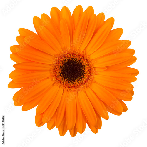 Aluminium Prints Gerbera Orange daisy flower isolated on white
