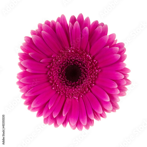 Recess Fitting Gerbera Pink daisy flower isolated