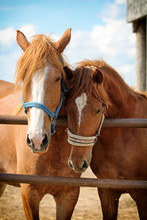 Two Red Horses Near Fence