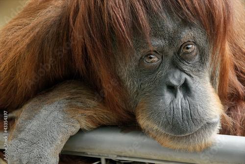 In de dag Aap Portrait eines schönen Orang-Utan Weibchens