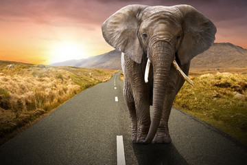 Fototapeta na wymiar Elephant walking on the road at sunset