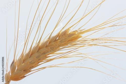 Fotografie, Obraz  Spiga di grano al sole