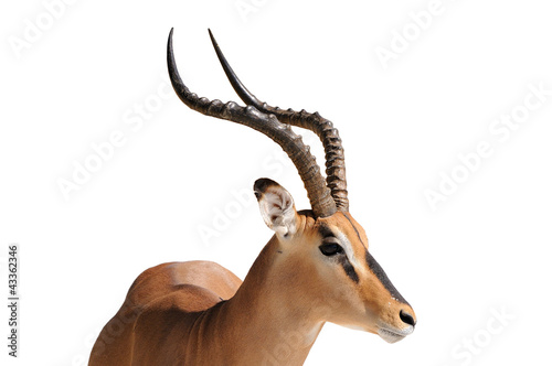 Impala isolated on white