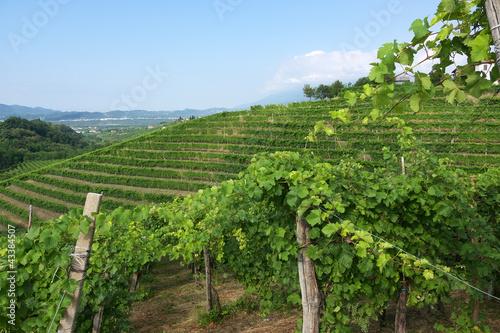 Fotografia  vigne del Prosecco a Valdobbiadene
