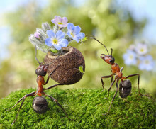 Ant Gives Flowers With Sweets,...