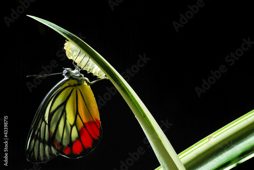 Monarch Butterfly, Milkweed Mania, baby born in the nature.