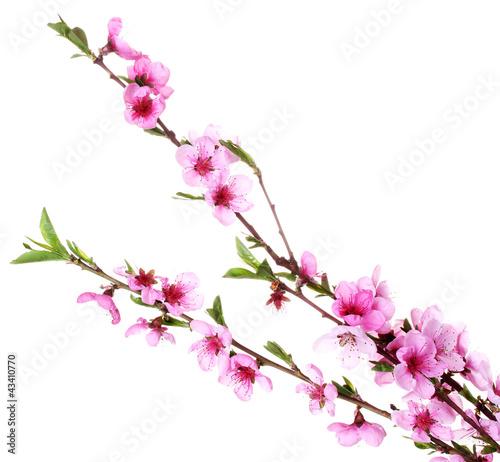 Foto op Plexiglas Magnolia beautiful pink peach blossom isolated on white