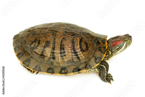 Poster Tortue Pond terrapin
