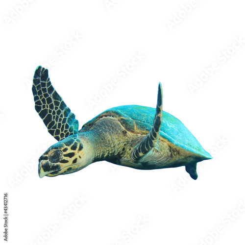 Poster Tortue Hawksbill Sea Turtles isolated on white
