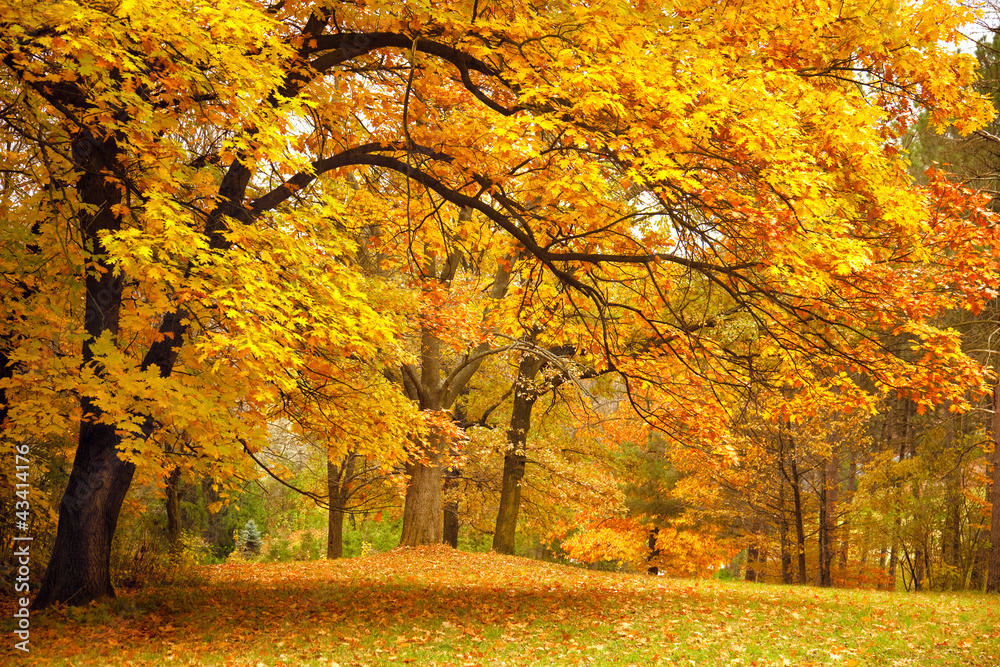 Fototapeta Autumn / Gold Trees in a park