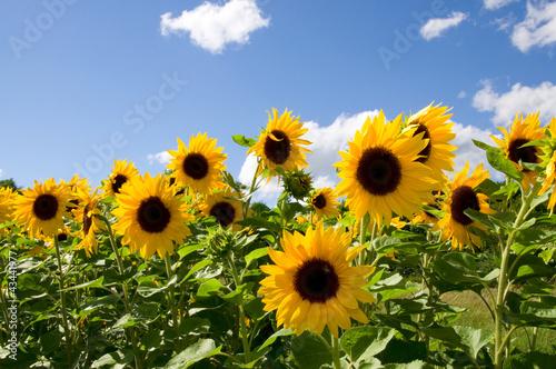 Foto op Plexiglas Zonnebloem Sonnenblumen