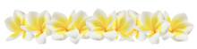 Plumeria On White
