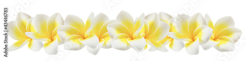 Photo Stands Plumeria plumeria on white