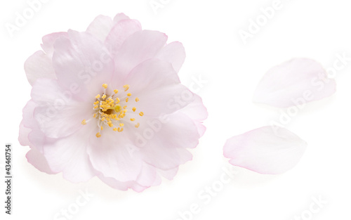 Keuken foto achterwand Kersenbloesem Pink cherry blossom isolated on white with two falling petals