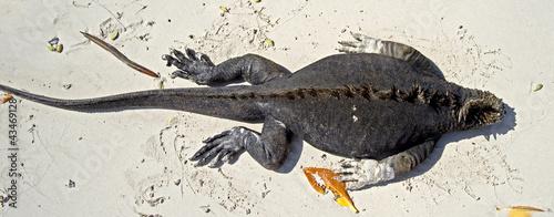 Fotografie, Obraz  Iguane marin 1