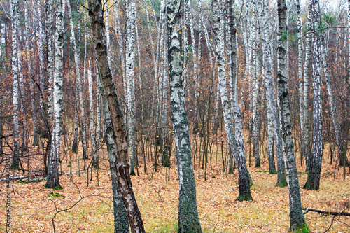 Deurstickers Berkbosje Forest is birch in autumn