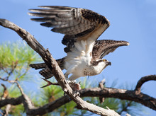 Osprey Taking Flight With Fish In Talons