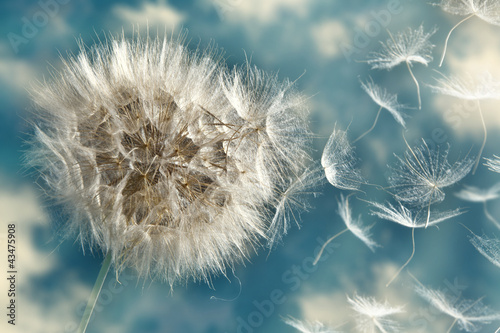 Deurstickers Paardebloem Dandelion Loosing Seeds in the Wind