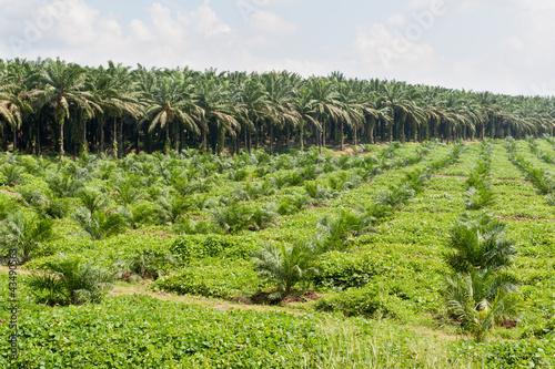 Photo  Oil palm plantation