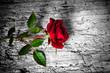 canvas print picture - rosa rossa su fondo b/n