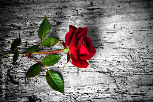 Keuken foto achterwand Rood, zwart, wit rosa rossa su fondo b/n