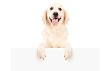 Retriever Dog Standing Behind White Panel
