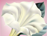 Biały kwiat trąbki z różowym tle - 43503369