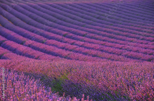 Lavendelfeld - lavender field 04