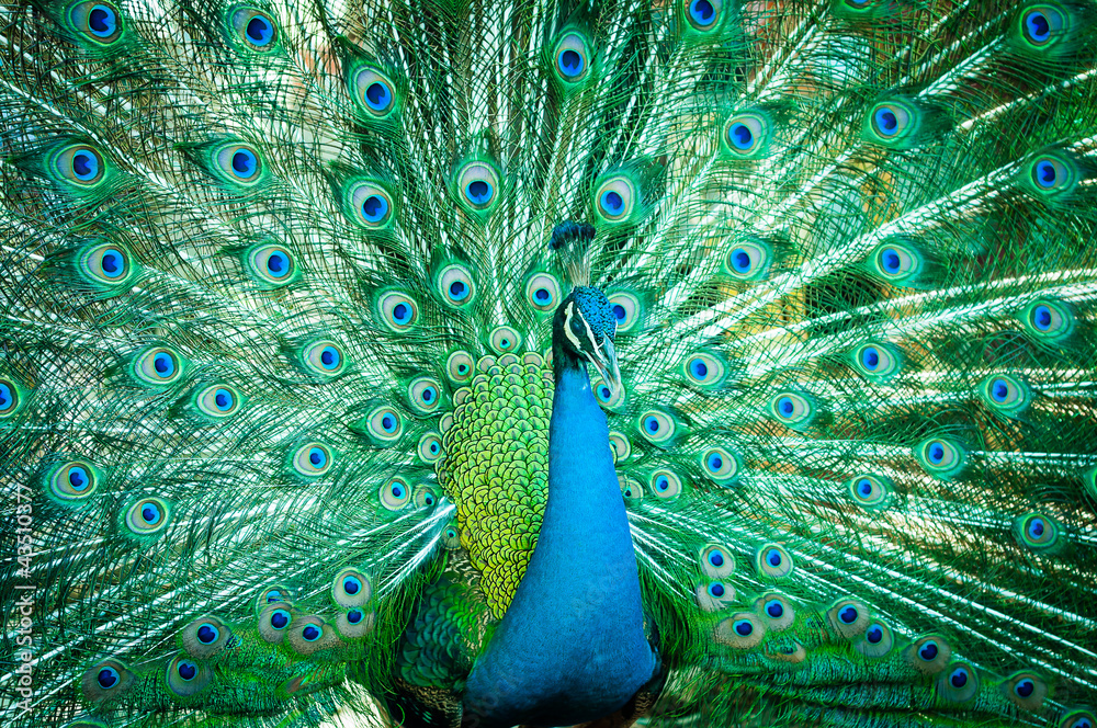 Fototapety, obrazy: Portrait of peacock with feathers out