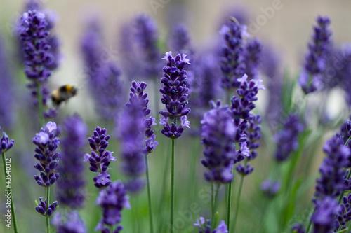 lavender flowers - 43540312