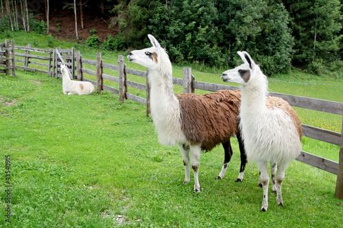Lamas in Österreich / Schladming