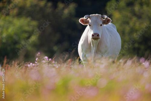 Poster de jardin Vache vache charolaise morvan pré
