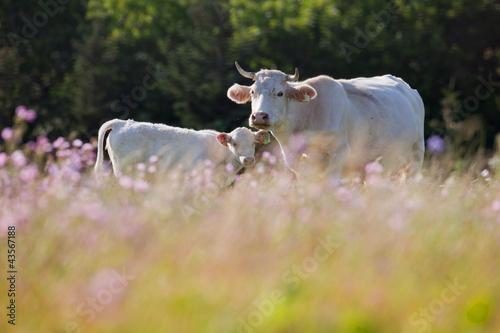 Canvas Print vache veau morvan charolaise
