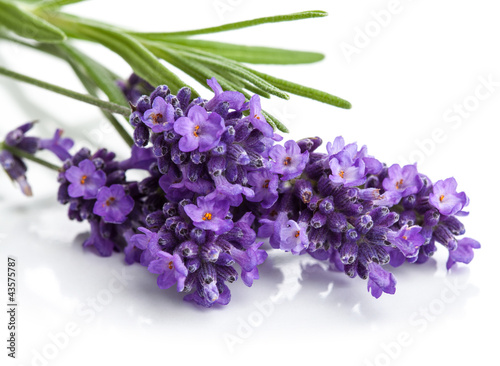 Foto op Canvas Lavendel lavender flower isolated