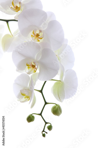 Tuinposter Orchidee White orchid isolated on white