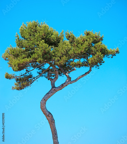 Maritime Pine curved tree on blue sky background. Provence, Fran Canvas Print
