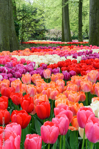 Photo Stands Candy pink Flower bed of multicolored tulips