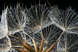 dandeliohn seeds
