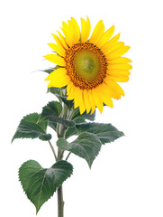 Fototapeta Sunflower. Close-up. Isolated. Studio