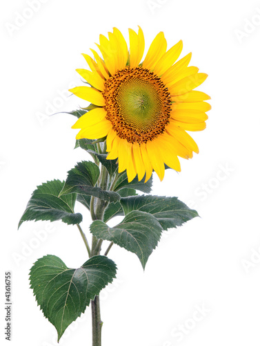 Spoed Foto op Canvas Zonnebloem Sunflower. Close-up. Isolated. Studio