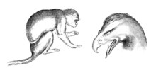 Drawings From L. Da Vinci : 2 Animals - 16th Century