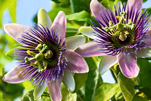 Passiflora - Medizin - 43643892