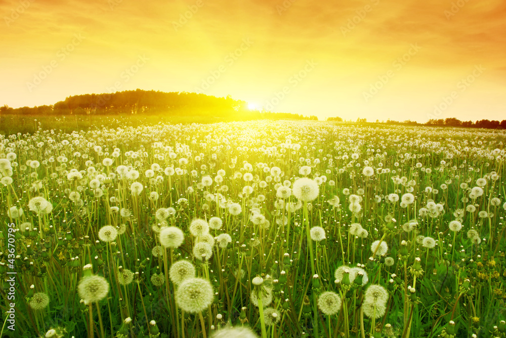 Fototapeta Dandelions in meadow during sunset.
