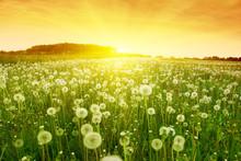 Dandelions In Meadow During Su...