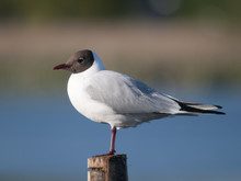 Mouette Rieuse - Black-headed Gull - Chroicocephalus Ridibundus