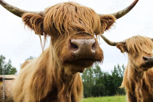 Fototapety, obrazy: Hairy cow scottish highland
