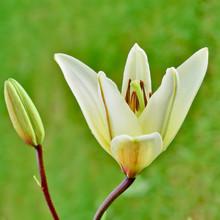 Lily Flower, Lilium Longiflorum