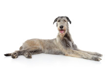 Irish Wolfhound On White Background