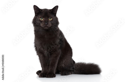 Cuadros en Lienzo Siberian cat on a white background